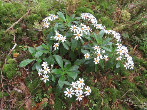Rare tree daisy in flower (Kirk's Tree Daisy) on the forest floor in the Remutaka Ranges