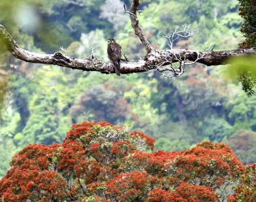 NZ Falcon and Northern Rata - Rimutaka Forest Park - December 2017