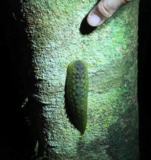 Leaf-veined slug observed at night in the Remutaka Forest Park